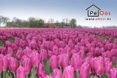 Uitgestrekte tulpenvelden