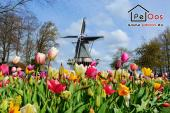 Tulips with windmill