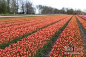Tulpenfelder soweit das Auge reicht