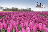 Endless tulip fields